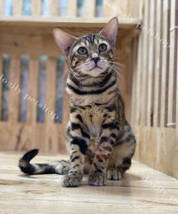Mèo Bengal con thuần chủng màu Brown