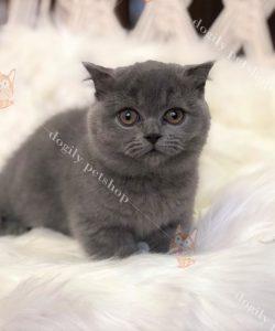 Mua bán mèo Munchkin thuần chủng giá tốt nhất tại Dogily Petshop.