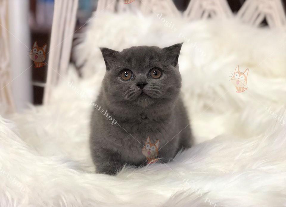 Mèo Munchkin con thuần chủng màu xám xanh có tại Dogily Petshop Hà Nội, Tp.HCM