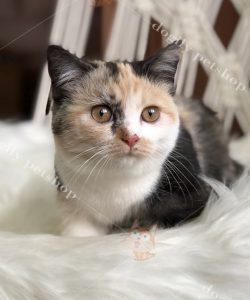 mèo Munchkin màu tam thể