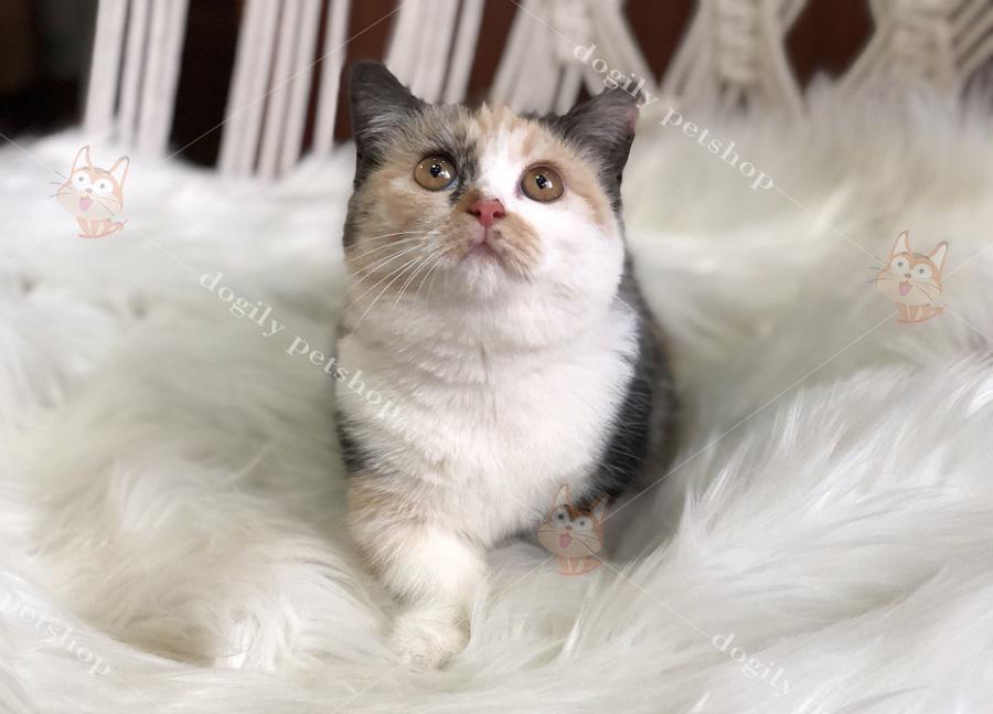 Mèo chân ngắn con thuần chủng hơn 2 tháng tuổi màu tam thể.