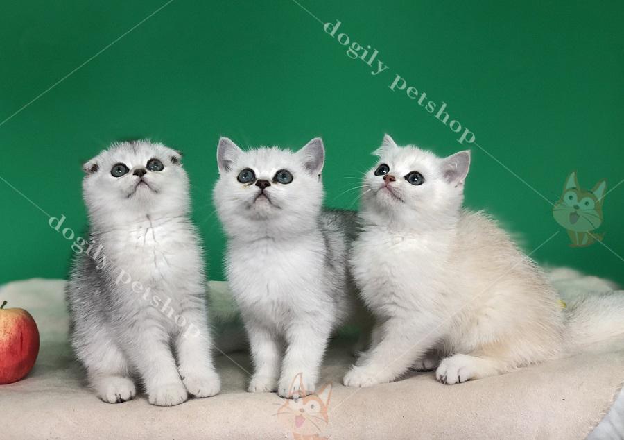 Mèo anh lông ngắn, mèo tai cụp màu SIlver
