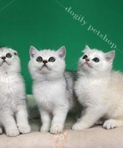 Đàn mèo con thuần chủng màu silver