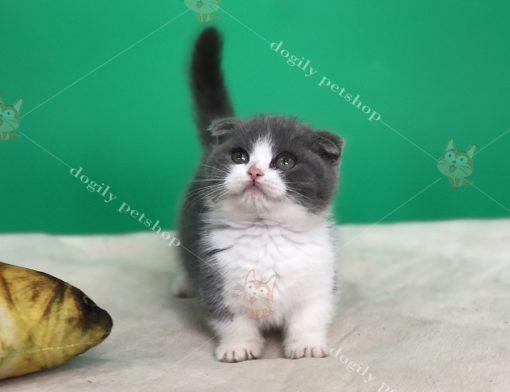 Mèo chân ngắn con thuần chủng màu bicolor