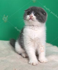 Mèo tai cụp con thuần chủng màu bicolor