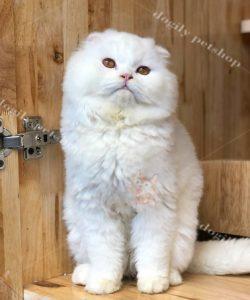 Mèo tai cụp trắng 8 tháng tuổi