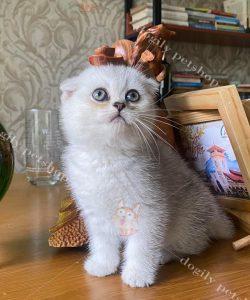 Mèo tai cụp màu Silver