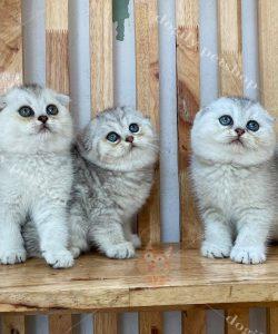 Mèo tai cụp con màu Silver