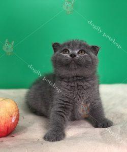 Mèo tai cụp màu xám xanh - Dogily petshop