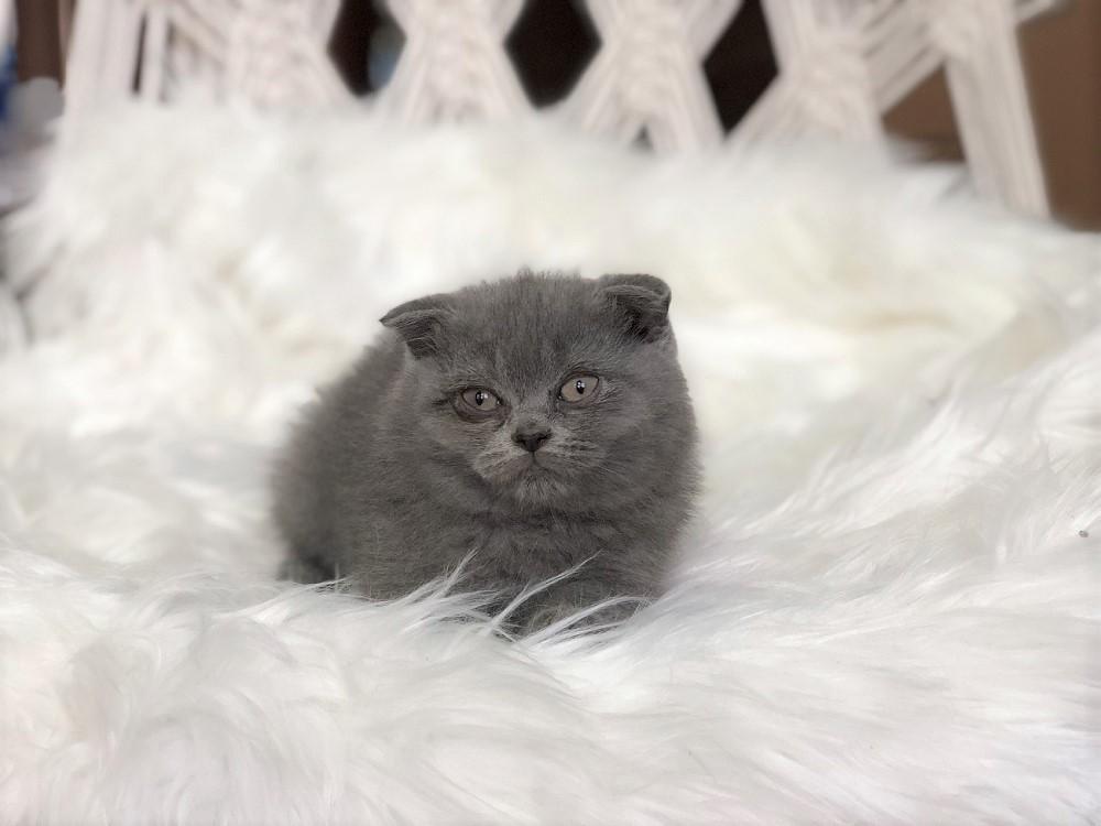 Hình ảnh mèo anh lông ngắn, chân ngắn, tai cụp tại Dogily Petshop