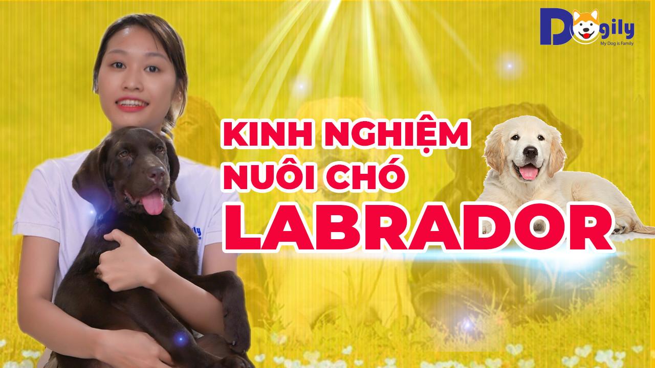 Kinh nghiệm nuôi chó Labrador - Cách chăm sóc chó Labrador con, trưởng thành như thế nào?