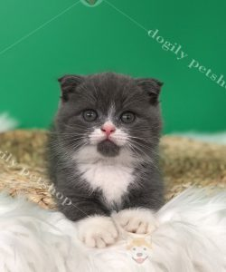 Mua mèo Munchkin bicolor 2 tháng tuổi thuần chủng tại Hà Nội, Sài Gòn 0911.079.086 - 0965.086.079