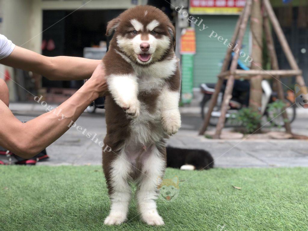 Chó Alaska Malamute con thuần chủng, hơn 2 tháng tuổi, màu nâu đỏ