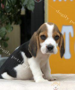 Mua chó Beagle - Chó săn thỏ thuần chủng liên hệ hotline: 0869118611