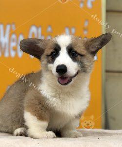 Chó Corgi con