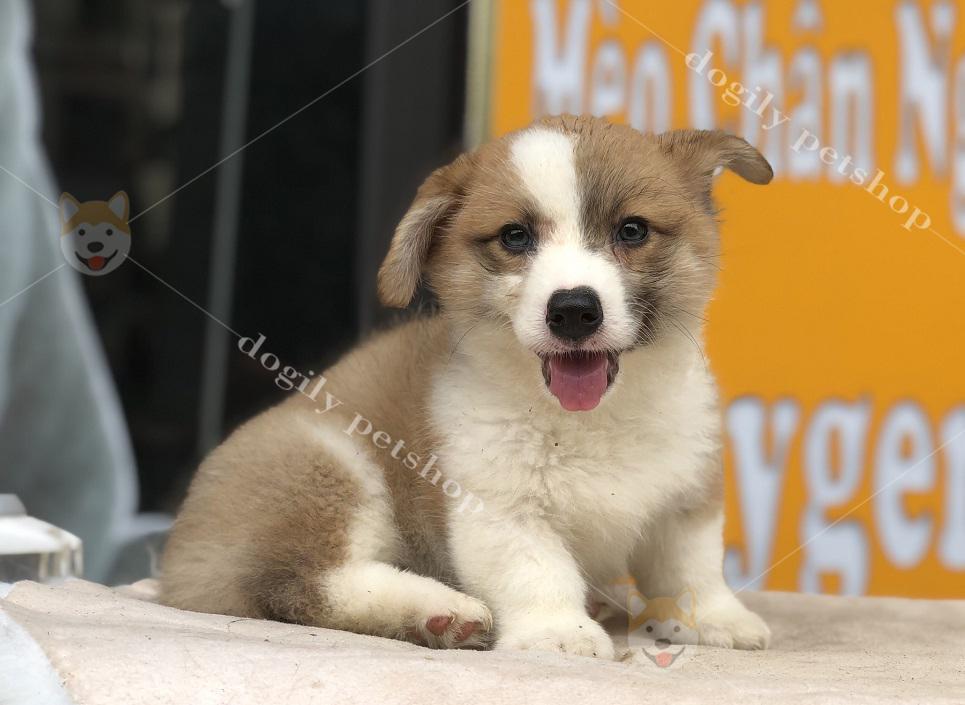 Chó Corgi con thuần chủng, giới tính đực, hơn 2 tháng tuổi, màu vàng trắng