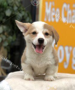 Mua chó Corgi thuần chủng tại Dogily liên hệ hotline 0869118611 để được tư vấn