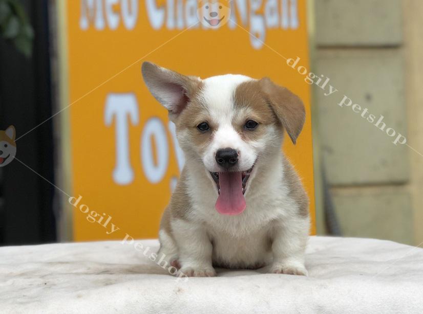 Chó Corgi Pembroke màu vàng trắng