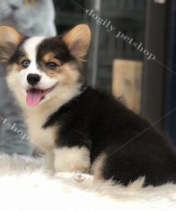 Chó Corgi màu Tricolor