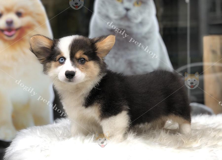 Chó Corgi Pembroke màu Tricolor thuần chủng