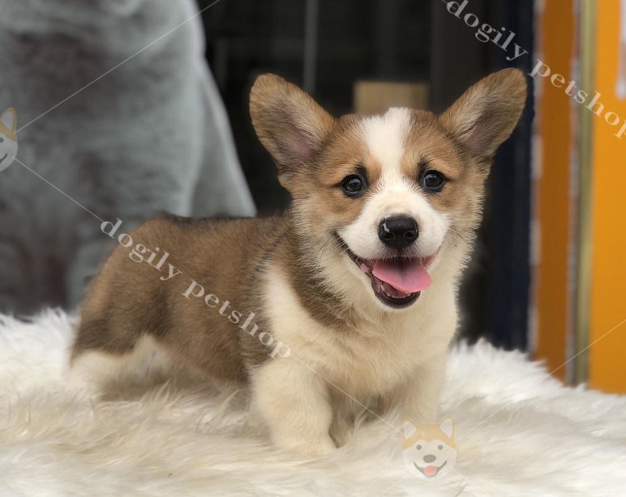 Chó Corgi màu vàng trắng con thuần chủng hơn 2 tháng tuổi có tại Dogily Petshop