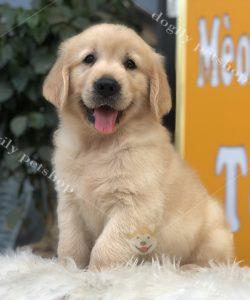 Chó Golden vàng cái - Dogily Petshop