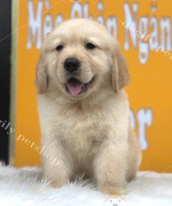 Chó Golden vàng đực - Dogily Petshop