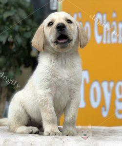 Chó Labrador con thuần chủng