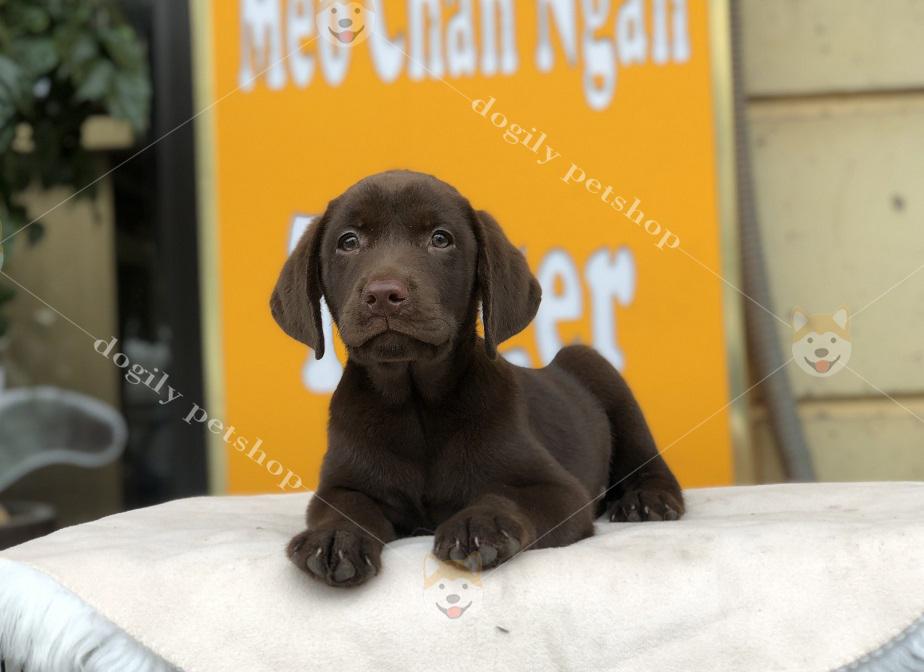 Mua chó Labrador retriever thuần chủng liên hệ hotline 0869118611