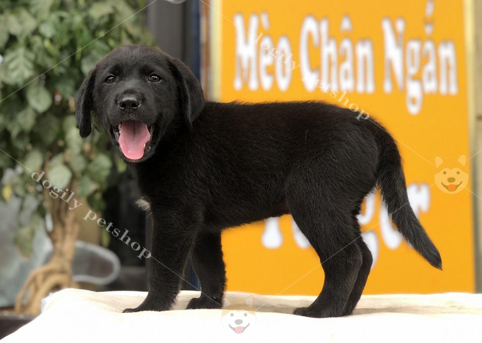 Bin - chú chó Labrador con thuần chủng màu đen, giới tính đực