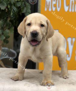 Bán chú chó Labrador con thuần chủng tại hệ thống trại giống, cửa hàng của Dogily Petshop Hà Nội, TP.HCM ✔️ Tên: Sói ✔️ Giống: chó Labrador Retriever ✔️ Màu: vàng ✔️ Giới tính: đực ✔️ Tuổi: hơn 2 tháng tuổi Khách hàng hoàn toàn an tâm khi mua chó Labrador con của thương hiệu chúng tôi vì: 📌 Hợp đồng mua bán rõ ràng. 📌Bảo hành sức khỏe dài hạn. 📌Tiêm phòng, tẩy giun đầy đủ. 📌Tư vấn chăm sóc, nuôi chó, mèo cảnh trọn đời. 📌Bác sĩ thú y của Phòng khám Dogily Clinic thăm khám tận nhà. 📌Chó con có nguồn gốc rõ ràng. Được kiểm tra nghiêm ngặt về sức khỏe mới giao cho khách hàng. Trên hệ thống của Dogily Petshop của chúng tôi luôn có sẵn hàng chục chú cún Labrador con thuần chủng, đầy đủ màu sắc, để khách hàng lựa chọn. 🌻 Hãy đến ngay các cửa hàng, trang trại của Dogily Petshop – Công ty Cổ phần Dogily Việt nam để lựa cho mình chú chó con ưng ý bạn nhé. 🏩 Địa chỉ: ✔️ Dogily Petshop Nghi Tàm: 95 Nghi Tàm – P.Yên Phụ - Q.Tây Hồ - Hà Nội. ✔️ Dogily Petshop Cộng Hòa: 391 Cộng Hòa – P13 – Q.Tân Bình – Tphcm. ✔️ Dogily Petshop 3 Tháng 2: 606/121 Ba Tháng Hai - P.14 - Q.10 - Tphcm. ✔️ Dgily Petshop Quang Trung: 171 Quang Trung, phường 10, quận Gò Vấp - Tphcm ✔️ Trang trại Dogily Kennel: 262 Vĩnh Hưng – Q. Hoàng Mai – Hà Nội. ☎️ Hotline: 0965 086 079 – 0916 299 911 📧 Email: dogily.vn@gmail.com ✔️ Xem thông tin chi tiết giống về giống chó Labrado tại website: https://dogily.vn/cho-canh/cho-labrador/ ✔️Xem thêm video giới thiệu Labrado có mặt tại Dogily Petshop HCM, Hà Nội