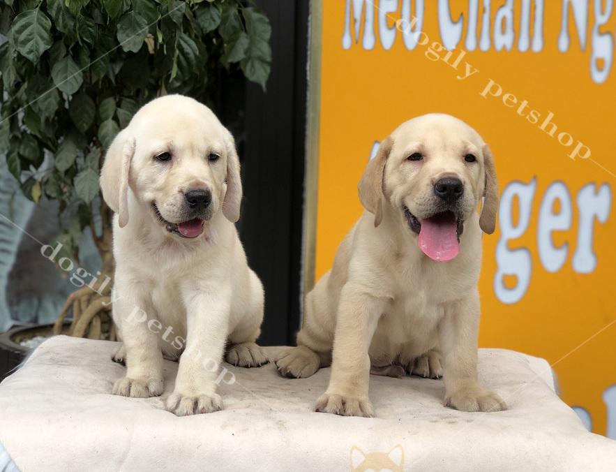 Hai chú chó Labrador con thuần chủng màu vàng tại Dogily Petshop