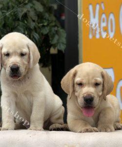 Mua chó labrador retriever 2 tháng tuổi thuần chủng liên hệ hotline: 0869118611