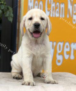 Chó Labrador con thuần chủng - Dogily Petshop