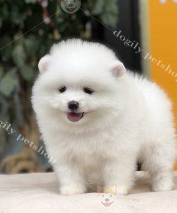 Chó Phốc Sóc Mini