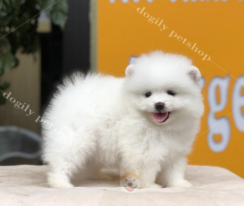 Dogily Petshop có thể cung cấp chó Phốc sóc con thuần chủng đủ màu sắc cho khách hàng trên toàn quốc