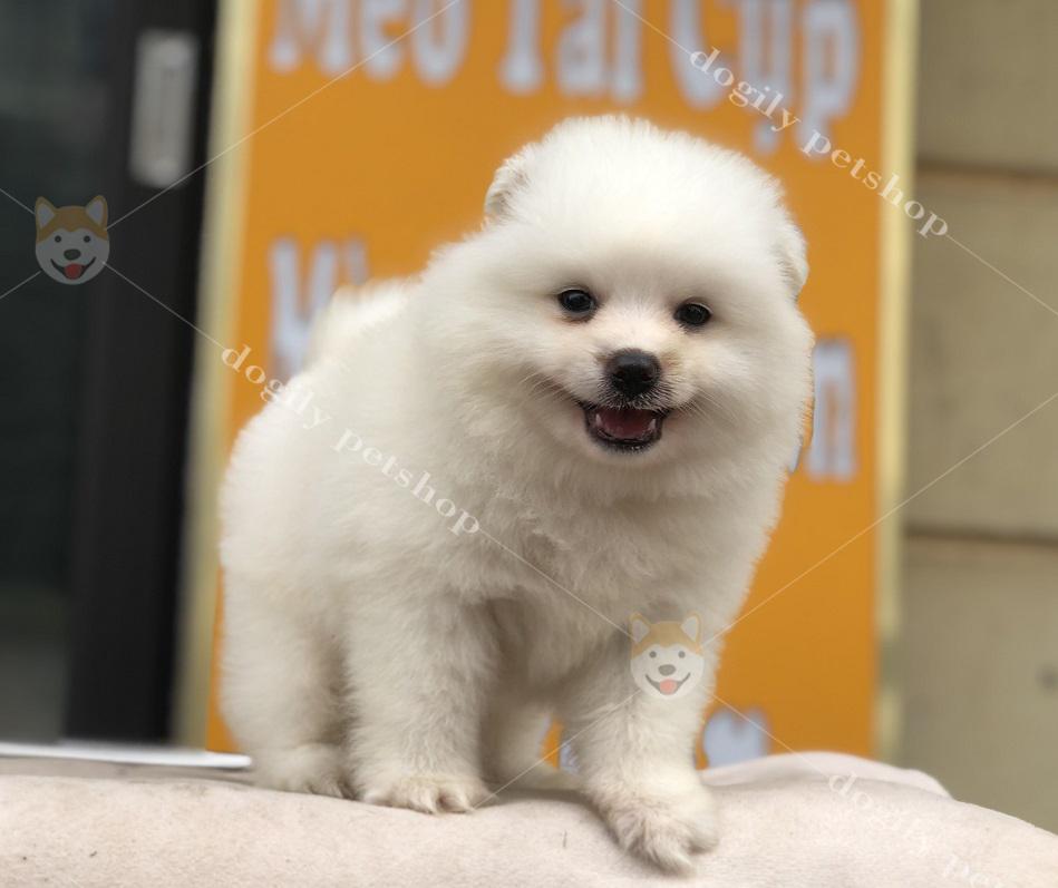Chó Phốc sóc con thuần chủng, màu trắng hơn 2 tháng tuổi có tại Dogily Petshop Hà Nội, TP.HCM
