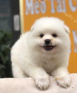 Chó Phốc sóc con thuần chủng màu trằngs
