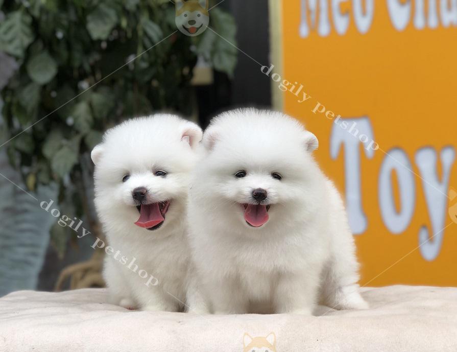 Hai chú chó Phốc sóc con thuần chủng màu Trắng