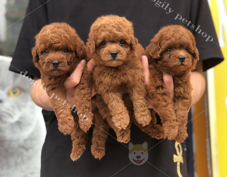 Đàn 3 chú chó Poodle con thuần chủng màu nâu đỏ