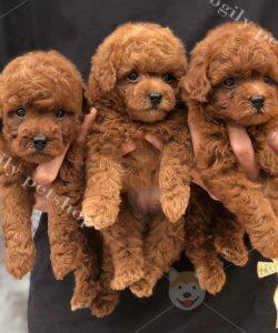 Đàn Cún Poodle con thuần chủng màu nâu đỏ