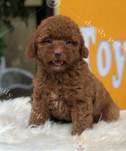 Chó Poodle con màu nâu đỏ