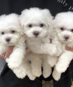 Đàn chó Poodle con màu trắng