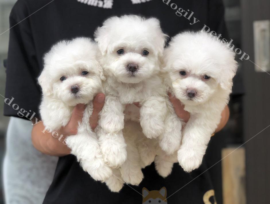 Đàn 3 chú chó Poodle con thuần chủng màu trắng có tại Dogily petshop Hà Nội, TP.HCM