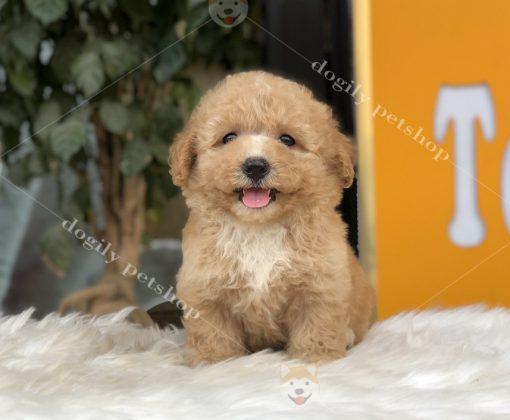 chó poodle con thuần chủng