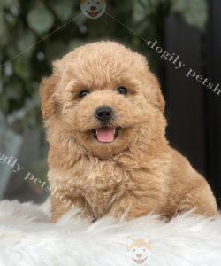 chó Poodle màu vàng mơ cái