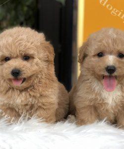 Chó Poodle màu vàng mơ