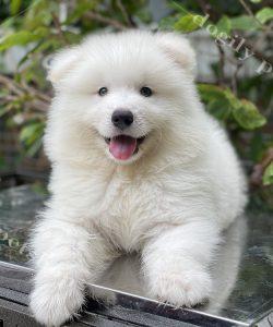 Mua chó Samoyed (Sam) thuần chủng đẹp 2 tháng tuổi liên hệ hotline: 0869118611