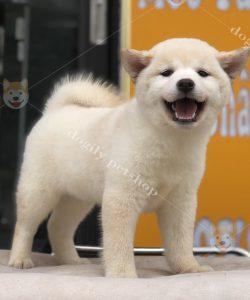 Chó Shiba con cái thuần chủng màu trắng