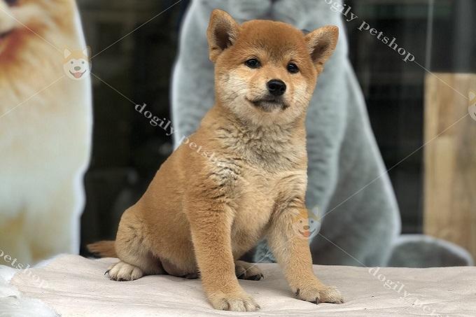 Hầu hết chó Shiba Inu con nhà Dogily đều được xuất bán 2-4 tháng tuổi. Được bác sĩ thú y của phòng khám Dogily Clinic kiểm tra sức khỏe, tiêm phòng, tẩy giun đầy đủ.